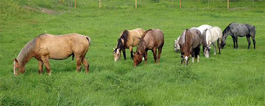 Some of our stallions - Ace of Clubs Quarter Horses